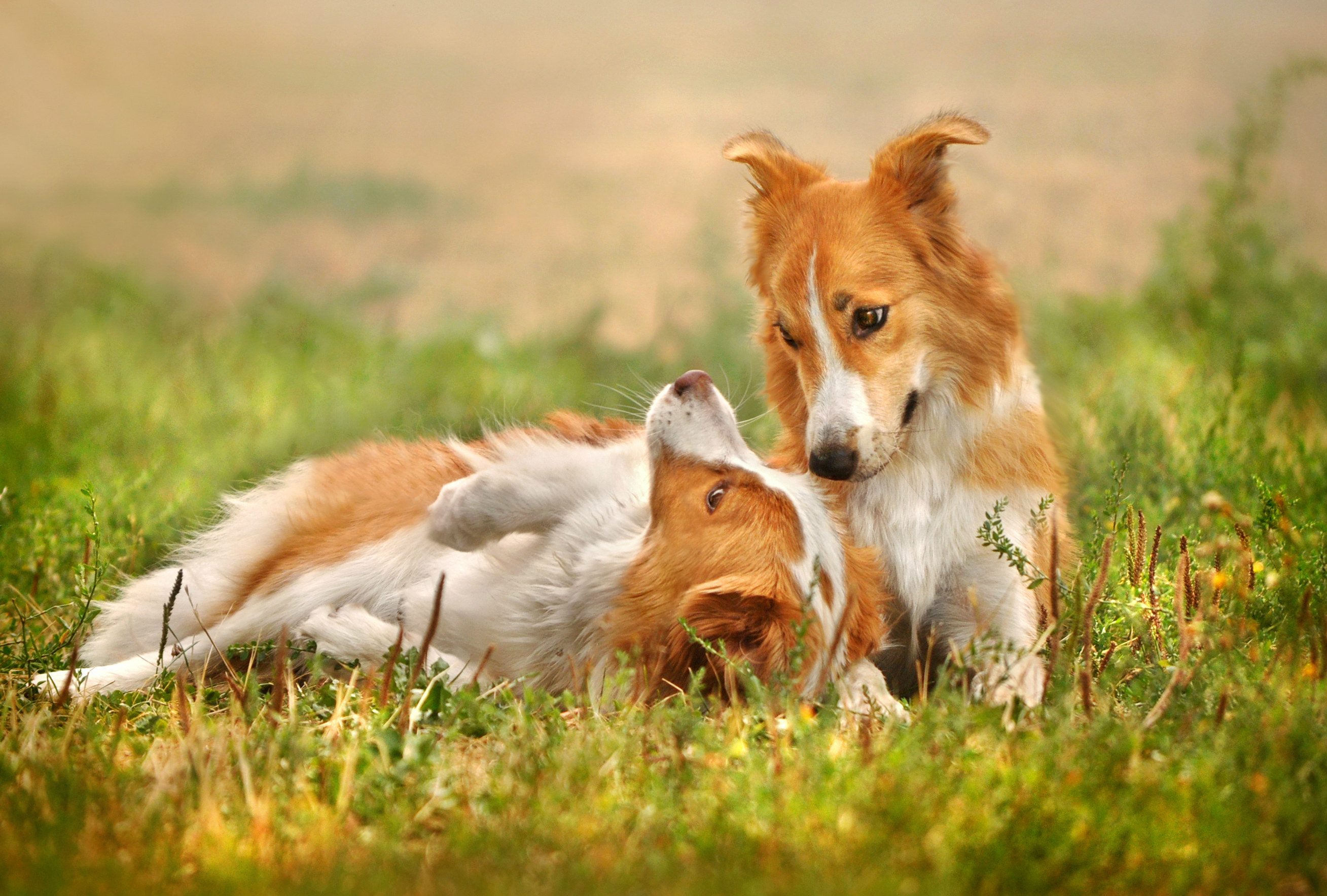 the importance of vaccinating your pet against rabies rabies vaccinated dogs