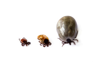 Ticks, Lyme Disease, Dogs